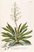 Pálma liliom yucca fehér virág levél kerti dísznövény G.Ehret Antik botanikai illusztráció reprint