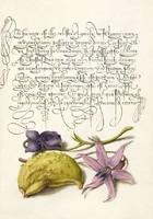 Díszes kalligráfia botanikai illusztráció latin szöveg ibolya virág 16. sz-i antik kézirat reprint