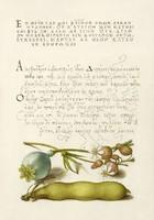 Kalligráfia botanikai illusztráció görög írás mákgubó habszegfű zöldbab 16.sz antik kézirat reprint