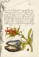 Kalligráfia latin kézírás botanikai illusztráció kagyló héj égőszerelem 16.sz antik kézirat reprint