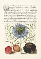 Kalligráfia aranyozott betű botanika cseresznye borzaskata brazil dió 16.sz antik kézirat reprint