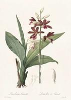 Liliomfélék kosbor gérbics sötét bíbor virág botanikai illusztráció Redouté 1810 REPRODUKCIÓ nyomat