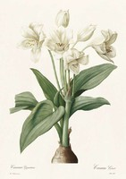 Liliomfélék óriás afrikai fehér liliom virág botanikai illusztráció Redouté 1810 REPRODUKCIÓ nyomat