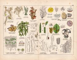Csiperke, gomba, usnea barbata, rénzuzmó, zuzmó, litográfia 1887, eredeti, növény, virág, nyomat