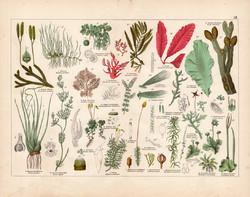 Alga, korpafű, rövidtokúmoha, hólyagmoszat, szőrmoha litográfia 1887, eredeti, növény, virág, nyomat