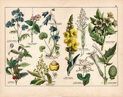Ökörfarkkóró, mangó, csatavirág, csattanó maszlag, litográfia 1887, eredeti, növény, virág, nyomat