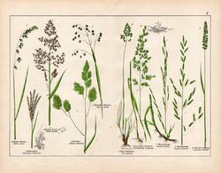 Selyemperje, réti perje, csenkesz, csomós ebír, litográfia 1887, eredeti, növény, virág, nyomat