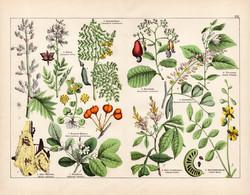 Kínai rebarbara, szenna, guajakfa, quassia, kesu, litográfia 1887, eredeti, növény, virág nyomat