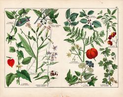 Dohány, paradicsom, keserű csucsor, kutyabenge, litográfia 1887, eredeti, növény, virág, nyomat