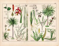 Fásodó aloé, kanári sárkányfa, spárga, sprekelia, litográfia 1887, eredeti, növény, virág nyomat