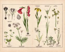 Bizánci kardvirág, macskagyökér, nőszirom, gyapjúsás, litográfia 1887, eredeti, növény, virág nyomat
