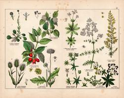 Húsos som, erdei mácsonya, tejoltó galaj, gubóvirág, litográfia 1887, eredeti, növény, virág, nyomat