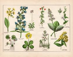 Terjőke kígyószizs, sugárkankalin, vidrafű, lizinka, litográfia 1887, eredeti, növény, virág, nyomat