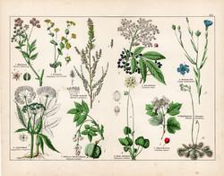 Podagrafű, fekete bodza, házi len, kányabangita, litográfia 1887, eredeti, növény, virág nyomat