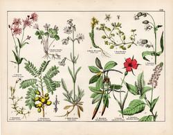 Kakukkszegfű, habszegfű, vörös mangrove, konkoly, litográfia 1887, eredeti, növény, virág, nyomat