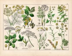 Édes kömény, angyalgyökér, bordamag, nyúlkömény, litográfia 1887, eredeti, növény, virág, nyomat
