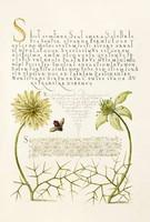 Antik grafika fekete kömény nigella virág méh darázs rajz botanikai illusztráció reprint nyomat