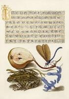 Antik grafika körte szitakötő béka jácint virág gyümölcs rajz botanikai illusztráció reprint nyomat