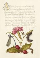 Mira Calligraphiae Monumenta kézirat díszes szöveg reprint szitakötő szegfű százlábú som hernyó méh
