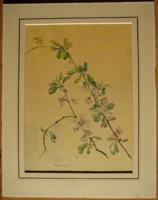 Igényes botanikai akvarell, 20'-as évek. Marga Fischer