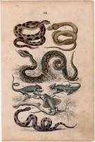 Hüllő, litográfia 1852, német, 11 x 16 cm, könyv melléklet, színes nyomat, eredeti, kígyó, gyík
