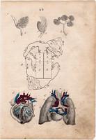 Anatómia IV., litográfia 1852, német, 11 x 16 cm, könyv melléklet, nyomat, szív, ér, érrendszer