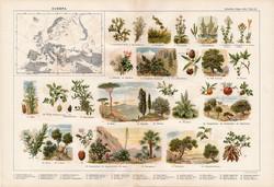 Európa növényvilága, színes nyomat 1909, eredeti, 32 x 47, német nyelvű, növény, narancsfa, platán