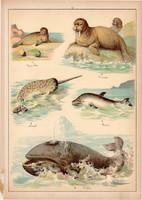 Bálna, delfin, narvál, fóka, litográfia 1899, eredeti, 24 x 34 cm, nagy méret, állat, tenger, óceán