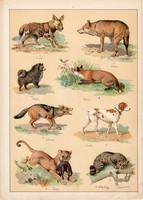 Kutya, farkas, róka, sakál, róka, vizsla, litográfia 1899, eredeti, 24 x 34 cm, nagy méret, állat