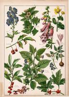 Nadragulya, boroszlán, gyűszűvirág, litográfia 1899, eredeti, 24 x 34 cm, nagy, növény, virág
