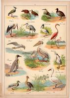 Madár, kacsa, lúd, gólya, pingvin, hattyú. litográfia 1899, eredeti, 24 x 34 cm, nagy méret, állat