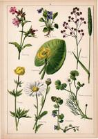 Ibolya, mécsvirág, tavirózsa, aranyvirág, ecsetpázsit, litográfia 1899, eredeti, 24x34cm, nagy méret