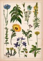 Búzavirág, csalán, kandilla, hérics, hölgymál, litográfia 1899, eredeti, 24 x 34 cm, növény, virág