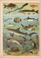 Hal, angolna, tok, ponty, kárász, hering, litográfia 1899, eredeti, 24 x 34 cm, nagy méret, állat