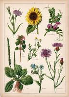 Utifű, borágó, napraforgó, konkoly, holt csalán, litográfia 1899, eredeti, 24 x 34 cm, növény, virág