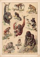 Majom, gorilla, orángután, makákó, pávián, litográfia 1899, eredeti, 24 x 34 cm, nagy méret, állat