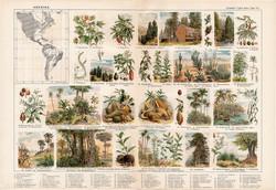 Amerika növényvilága, színes nyomat 1909, eredeti, 32 x 47, német nyelvű, növény, mamutfenyő, kakaó