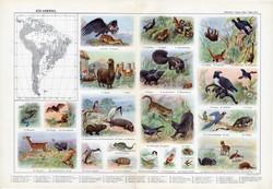 Dél - Amerika állatvilága, színes nyomat 1909, eredeti, 32 x 47, német nyelvű, állat, jaguár, alpaka