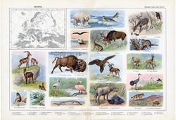 Európa állatvilága, színes nyomat 1909, eredeti, 32 x 47, német nyelvű, állat, szarvas, medve, madár