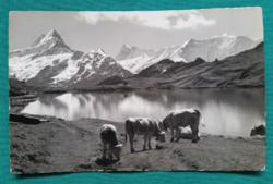 Svájci Alpok,Grindelwald,szép tájkép tehenekkel,postatiszta képeslap