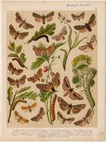 Magyarország lepkéi (39), litográfia 1907, nyomat, lepke, pillangó, hernyó, Xanthia Gilvago