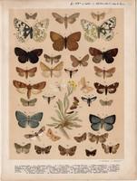 Magyarország lepkéi (51), litográfia 1907, nyomat, lepke, pillangó, hernyó, Lycaena Jolas, Erebia