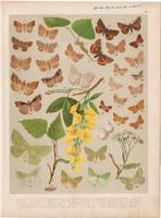 Magyarország lepkéi (43), litográfia 1907, nyomat, lepke, pillangó, hernyó, Laspeyria Flexula