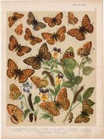 Magyarország lepkéi (12), litográfia 1907, színes nyomat, lepke, pillangó, hernyó, Argynnis Pales