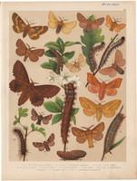 Magyarország lepkéi (27), litográfia 1907, nyomat, lepke, pillangó, hernyó, Malacosoma Neustria