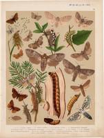 Magyarország lepkéi (25), litográfia 1907, nyomat, lepke, pillangó, hernyó, Cossus Cossus, Terebra