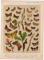 Magyarország lepkéi (41), litográfia 1907, nyomat, lepke, pillangó, hernyó, Anophia Leucomelas