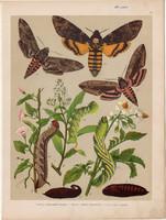 Magyarország lepkéi (17), litográfia 1907, színes nyomat, lepke, pillangó, hernyó Acherontia Atropos