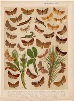 Magyarország lepkéi (38), litográfia 1907, nyomat, lepke, pillangó, hernyó, Taeniocampa Gothica