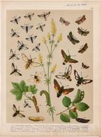 Magyarország lepkéi (20), litográfia 1907, nyomat, lepke, pillangó, hernyó, Macroglossa Stellatarum